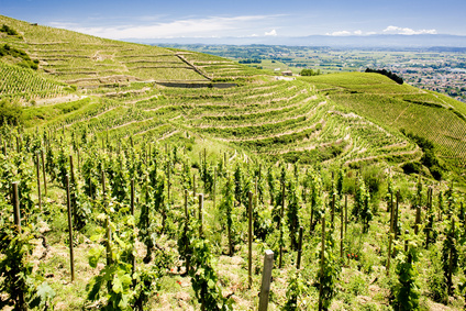 Rhone valley vineyards
