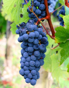 Carmenere-Wine-Grapes-235x300