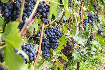 grape varieties bordeaux