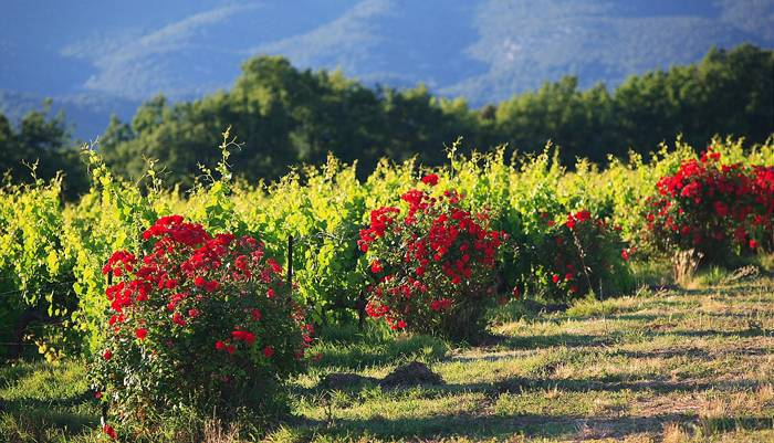 rosebushes vineyard