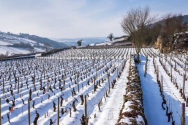 Burgundy vines in the snow